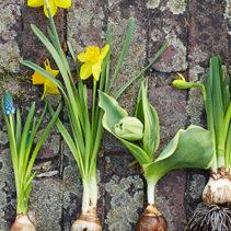 Tuinplant van de Maand februari: Voorjaarsbollen op pot
