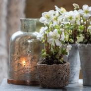 Tuinplant van de Maand: Kerstroos